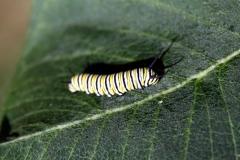 monarchcatepillar