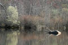 pineswamp