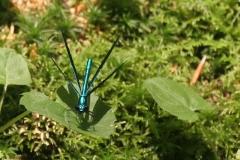 tefftwewalddragonfly
