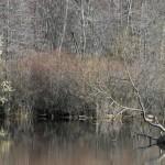 pineswampheader
