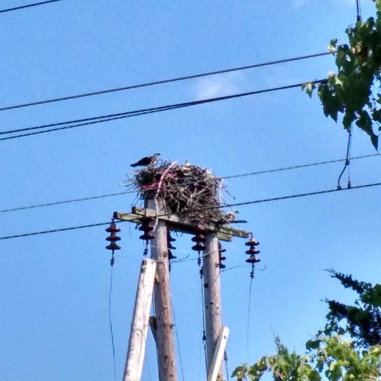 Knox Osprey On Nest
