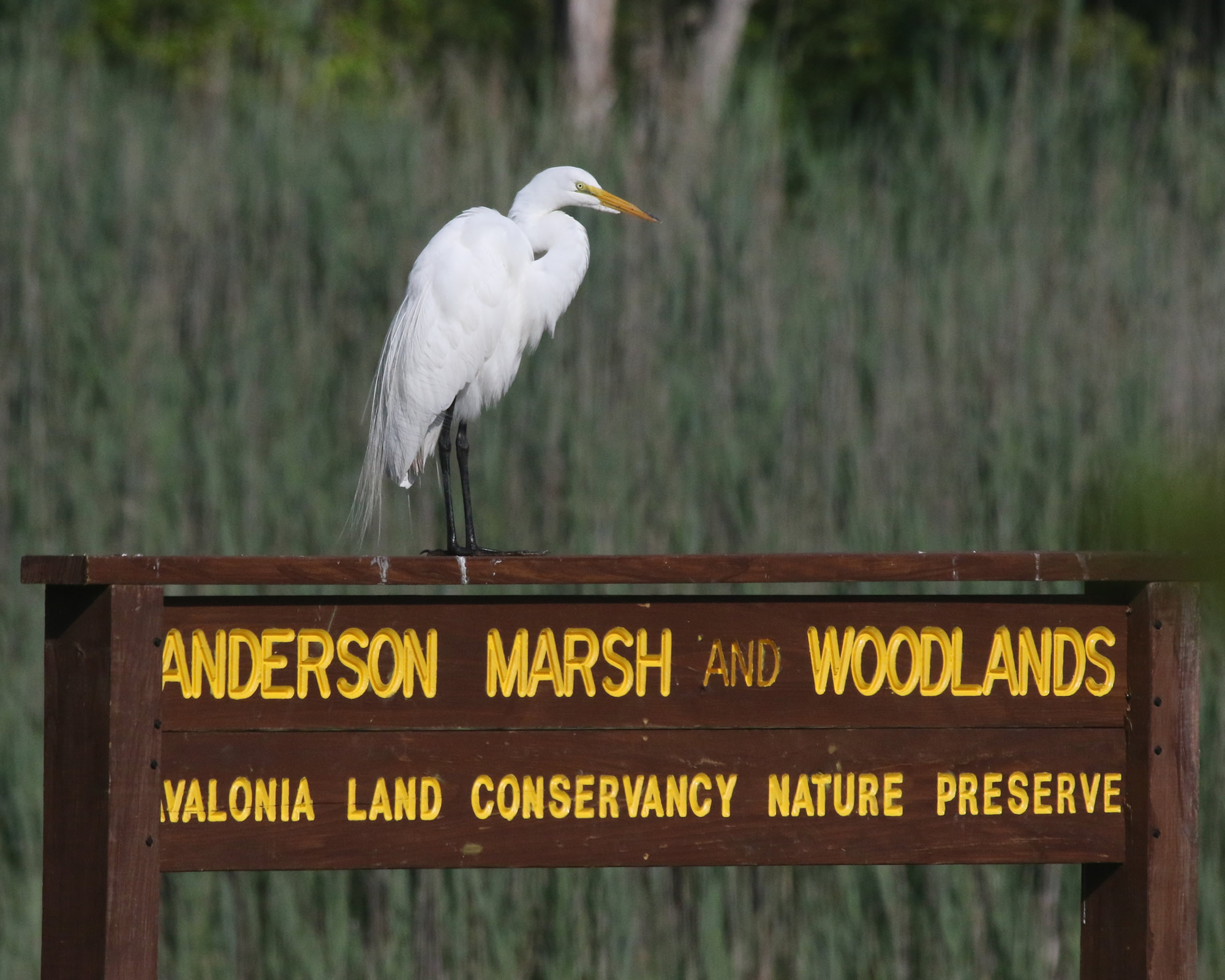 Egret At Anderson Marsh