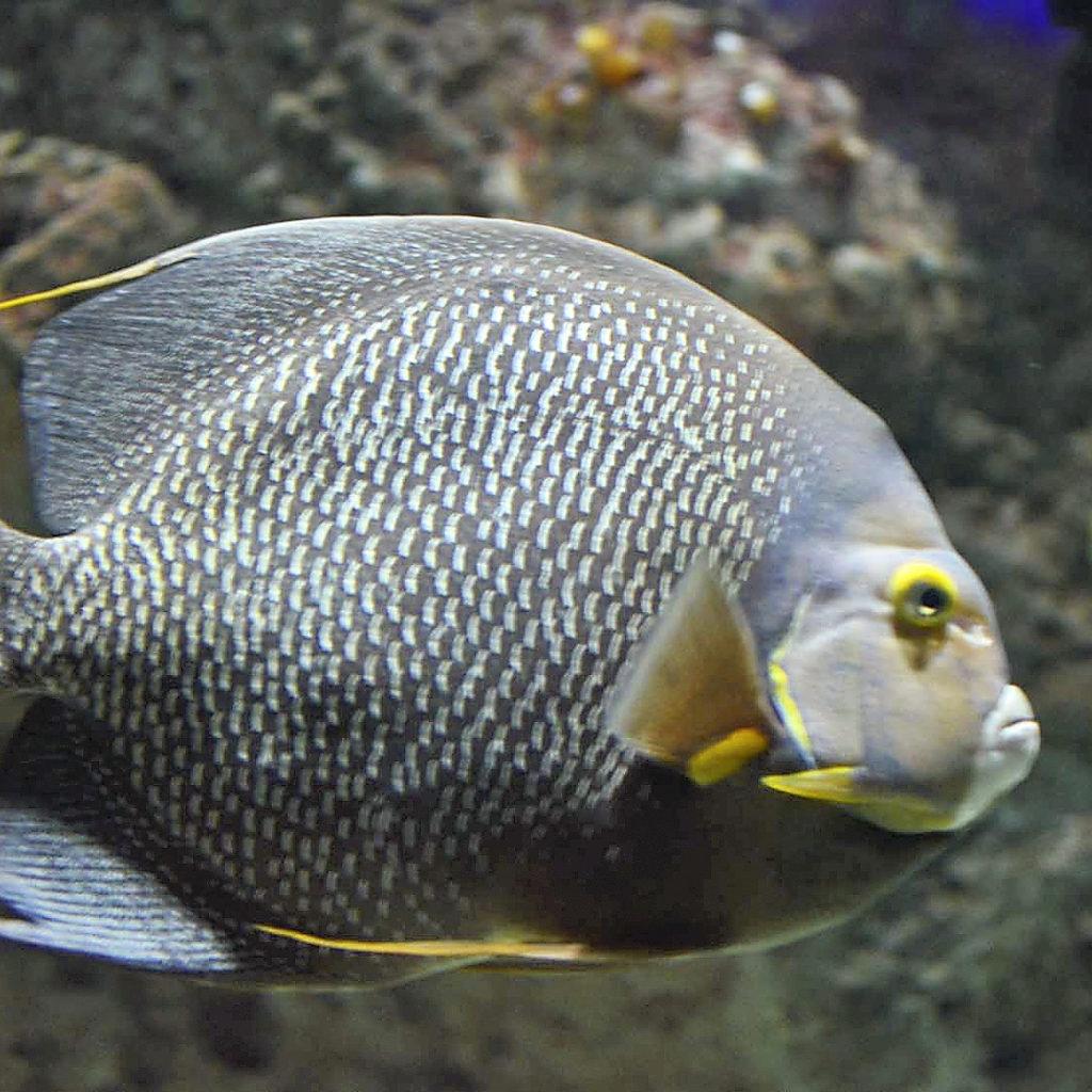DSC 4434AAvalGalaFish