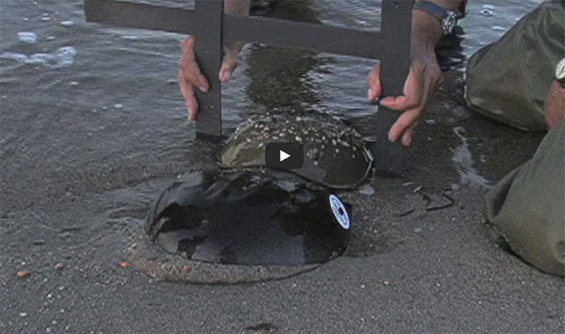 Horseshoe Crabs Video