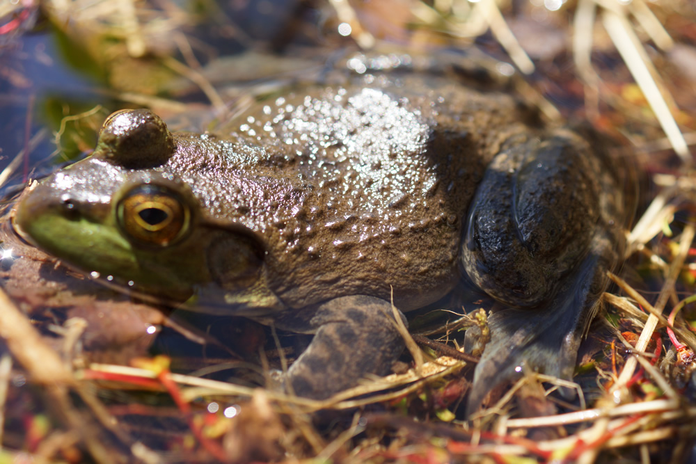 Green Frog Found In Vernal Pool On Atkinson Property