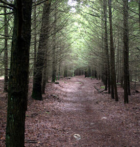 In 2006, The Hemlocks Were Healthier, But They Were Already Becoming Too Crowded. (Photo Rick Newton)